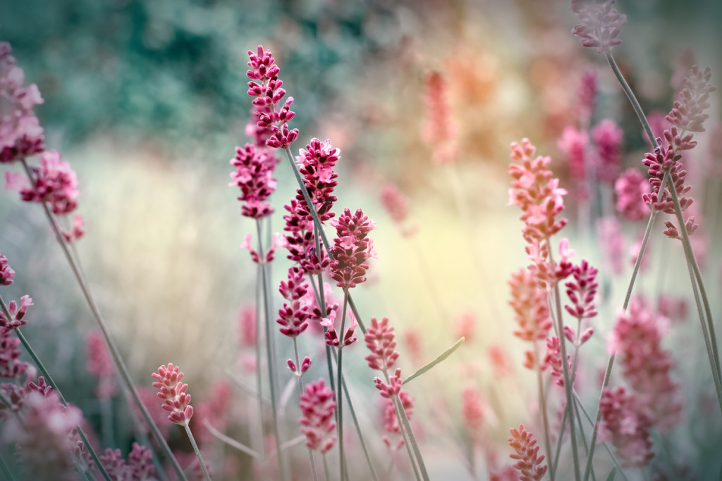 Soft focus on lavender flowers in my flower garden