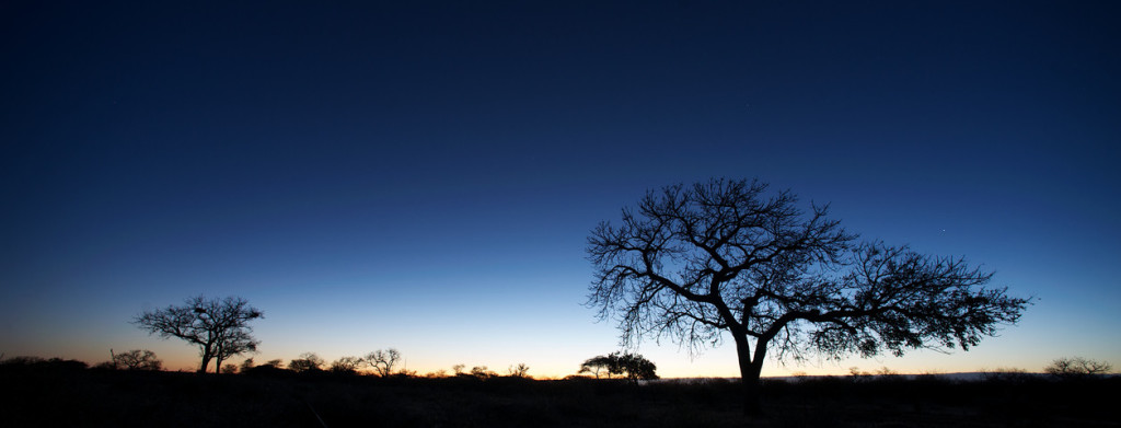 Trees silhouette at sunrise with cool blue and yellow color Botswana Southern Africa