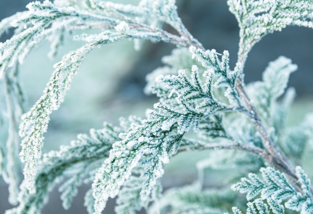 Frosty Branch, Cold Winter Background