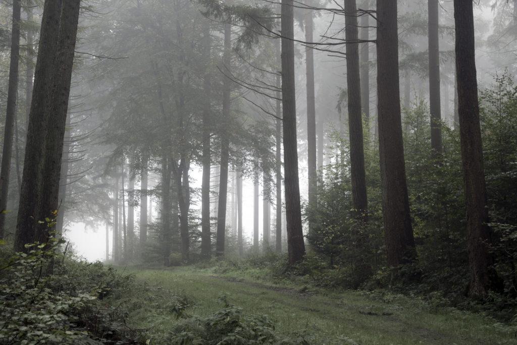 Footpath in dark and misty autumn forest. Coniferous trees in fog. Taken in Forst Upjever, Schortens, Friesland, Lower Saxony, Germany, Europe.