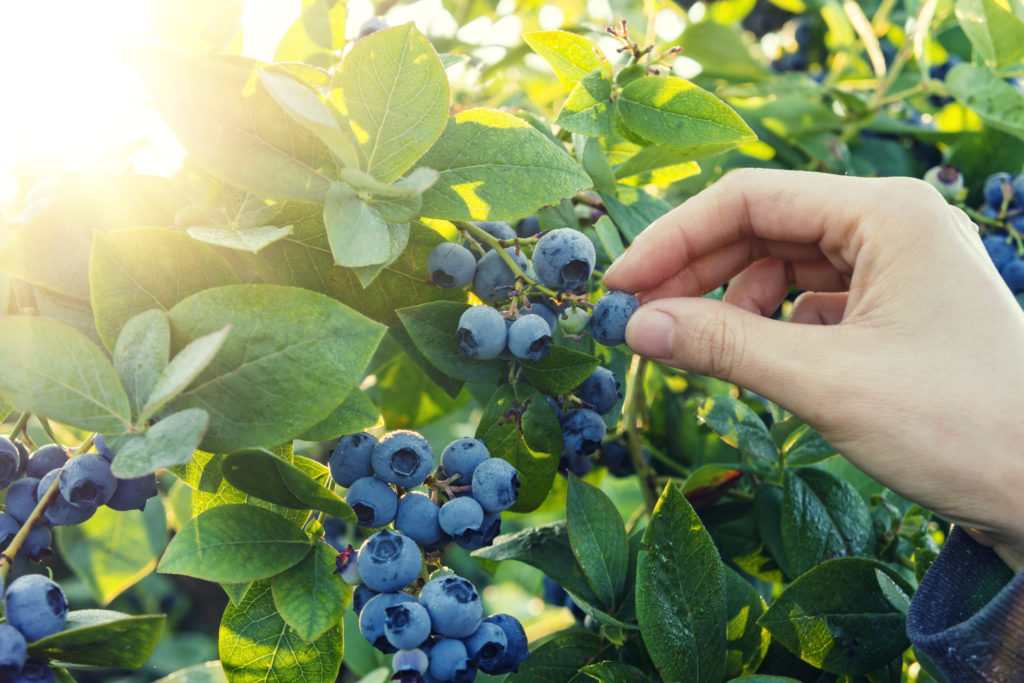 Blueberry picking in early morning