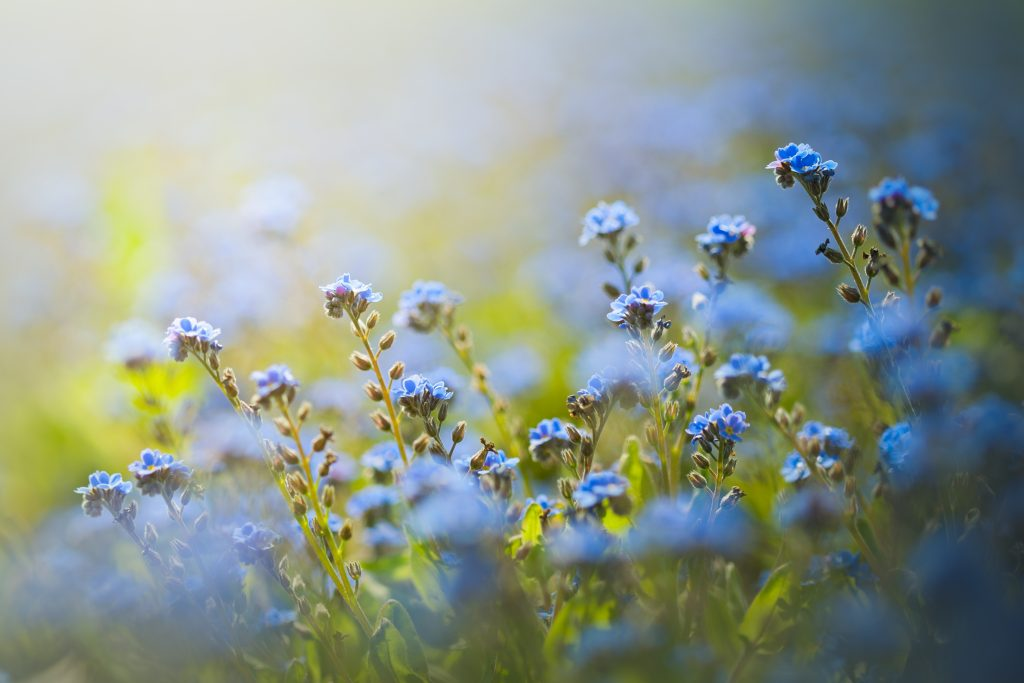 Ray of morning light above blue flowers