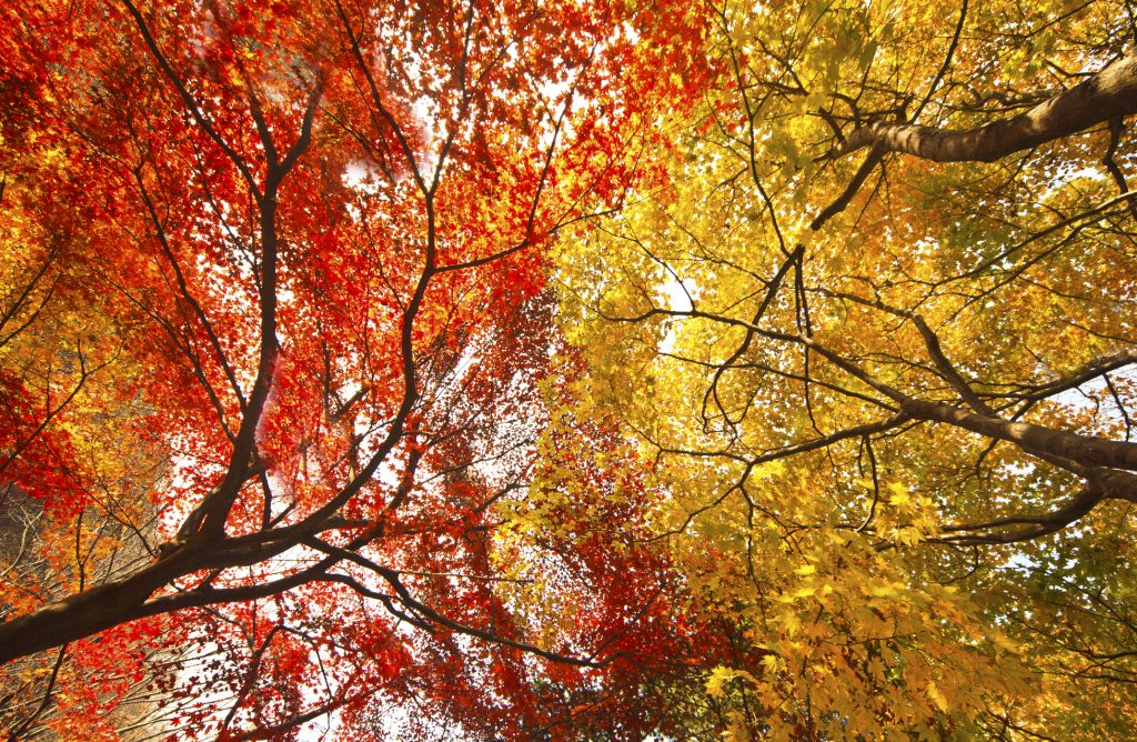 Looking straight up at orange and yellow fall Maple leaves