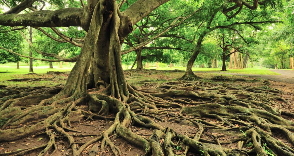 Majestic Tree with roots in the Royal Botanical Gardens in Sri Lanka